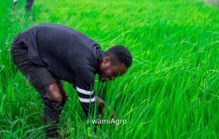 Rice in Ghana