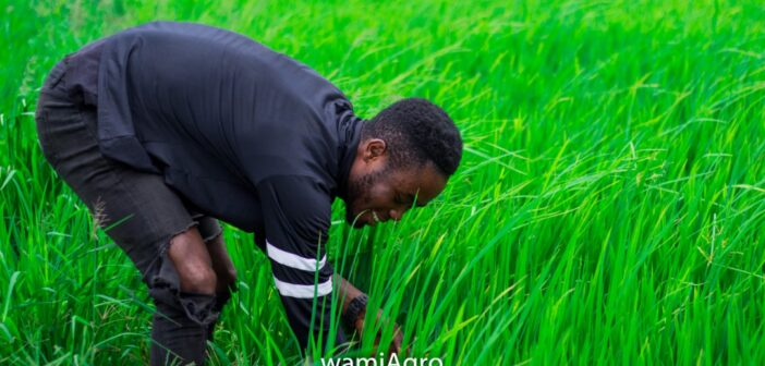 How WamiAgro and GrowForMe are transforming the livelihoods of rice farmers in Ghana