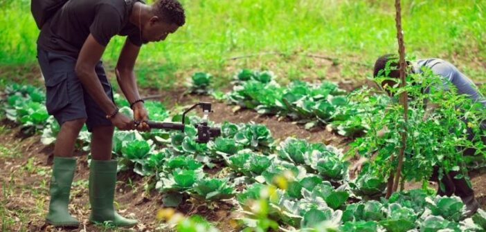 Ghana Agribusinesses on the verge of collapse – Ghana Statistical Service