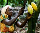 COCOBOD set to plant over 1.6 million trees for 2020/2021 crop season